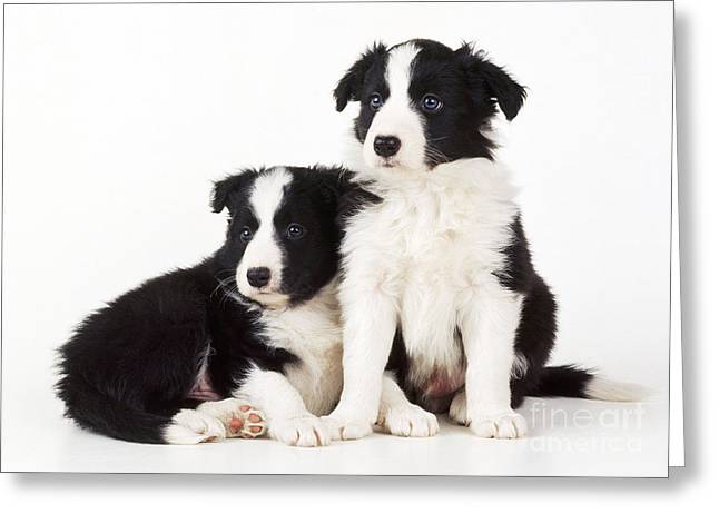 Puppy Sitting Greeting Cards - Border Collie Dogs, Two Puppies Greeting Card by John Daniels