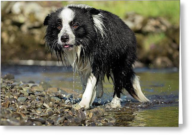 Border Collie Dripping Wet After Swimming Greeting Card by Simon Booth