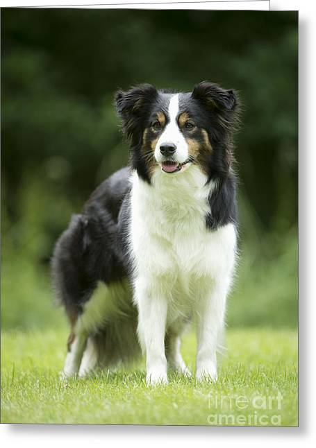 Canid Greeting Cards - Border Collie Greeting Card by John Daniels