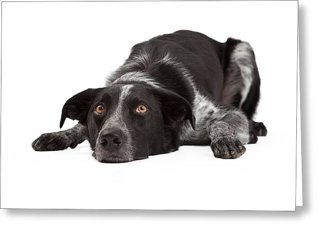 Full-length Portrait Photographs Greeting Cards - Border Collie Laying Head Down Greeting Card by Susan  Schmitz