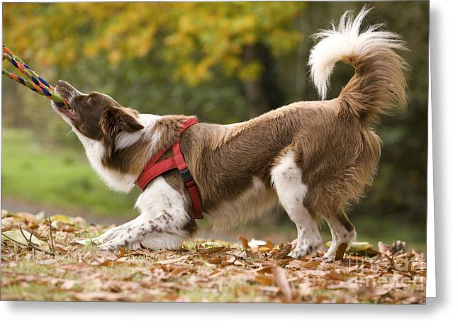 Side Braid Greeting Cards - Border Collie Playing Greeting Card by Jean-Michel Labat