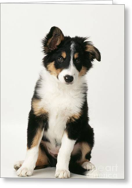 Puppy Sitting Greeting Cards - Border Collie Puppy, Sitting Greeting Card by John Daniels