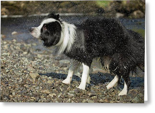 Border Collie Shaking Dry After Swimming Greeting Card by Simon Booth