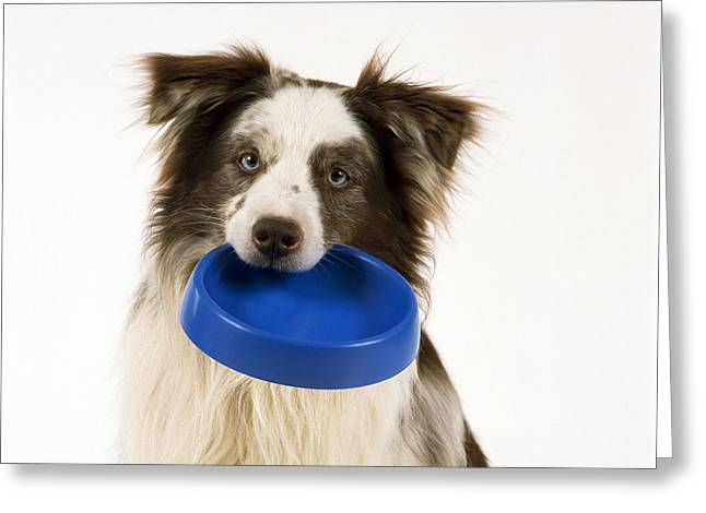 Begging Bowl Greeting Cards - Border Collie With Bowl Greeting Card by John Daniels