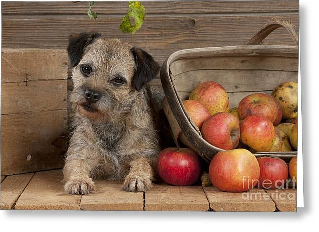 Head Tilt Greeting Cards - Border Terrier With Apples Greeting Card by John Daniels