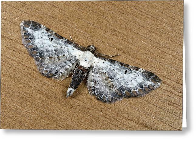 Bordered Pug Moth Greeting Card by Nigel Downer