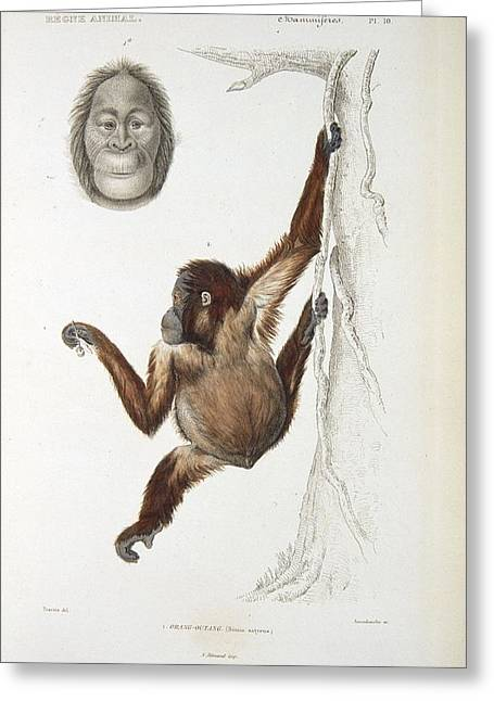 Nature Study Greeting Cards - Bornean orangutan, 19th century Greeting Card by Science Photo Library