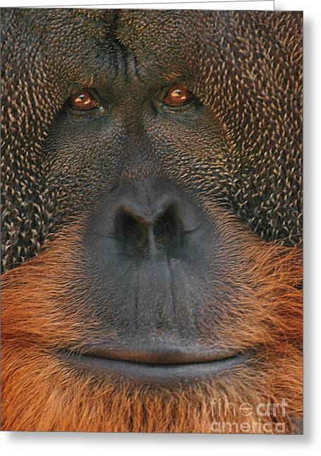 Animal Body Part Greeting Cards - Bornean orangutan Greeting Card by Frans Lanting MINT Images