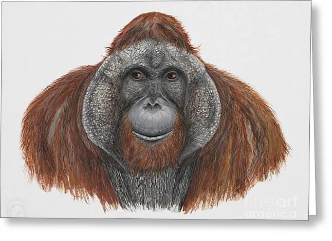 Orangutan Drawings Greeting Cards - Bornean orangutan - Pongo pygmaeus - Orang-Utan - Orango del Borneo - Orangotango - Borneoranki Greeting Card by Urft Valley Art
