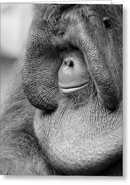 Orangutans Greeting Cards - Bornean Orangutan V Greeting Card by Lourry Legarde