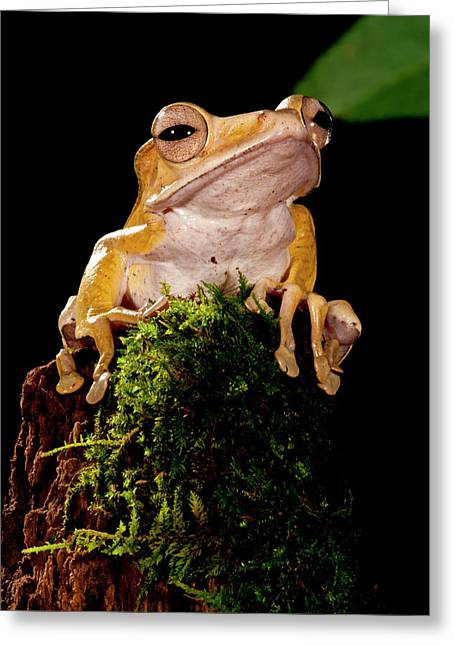 Borneo Eared Frog, Polypedates Greeting Card by David Northcott