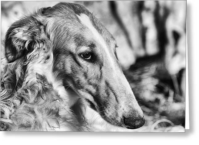 Sight Hound Greeting Cards - Borzoi Dog Portrait Greeting Card by Christian Lagereek