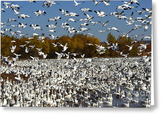The Flight Of The Snow Geese Greeting Cards - Bosque Del Apache AKA Paradise Greeting Card by Bob Christopher