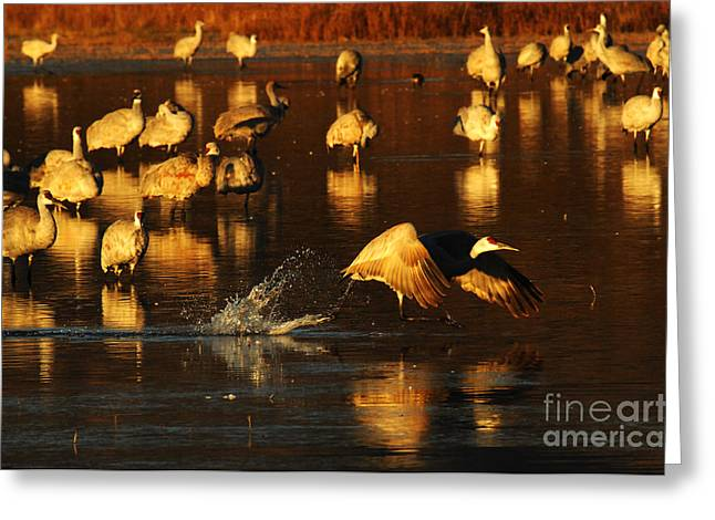 Crane Migration Greeting Cards - Bosque Del Apache Crane Taking Flight Greeting Card by Bob Christopher