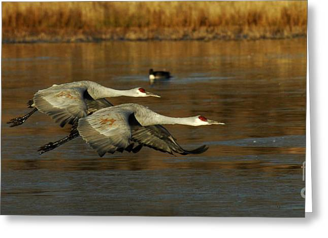 Crane Migration Greeting Cards - Bosque Del Apache Flight Formation Greeting Card by Bob Christopher