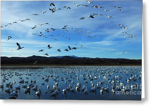 Snow Geese In Flight Greeting Cards - Bosque Del Apache Flight Line Greeting Card by Bob Christopher