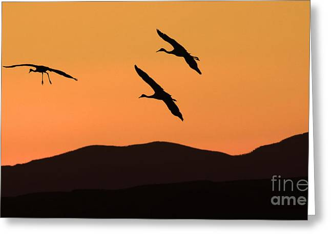 Crane Migration Greeting Cards - Bosque Del Apache Incoming Sandhill Cranes Greeting Card by Bob Christopher