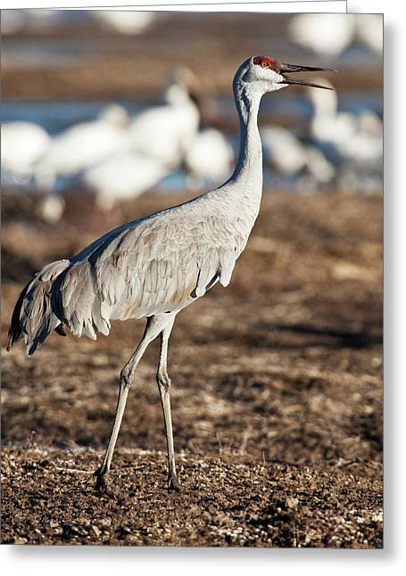 Bosque Del Apache National Wildlife Greeting Card by Rick A Brown