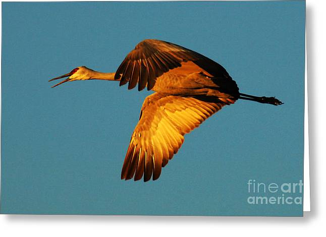 Crane Migration Greeting Cards - Bosque Del Apache Sandhill Crane Golden Light Greeting Card by Bob Christopher