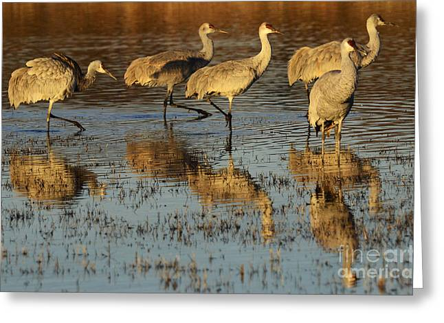 Crane Migration Greeting Cards - Bosque Del Apache Sandhill Crane Group Greeting Card by Bob Christopher