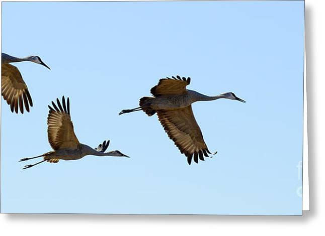 Crane Migration Greeting Cards - Bosque del Apache Sandhill Crane Trio Greeting Card by Bob Christopher