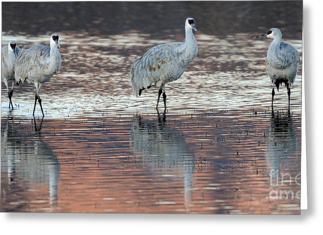 Crane Migration Greeting Cards - Bosque Del Apache Sandhill Cranes 4 Greeting Card by Bob Christopher