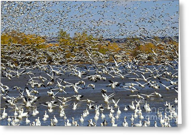 Snow Geese In Flight Greeting Cards - Bosque Del Apache Snow Geese In Paradise Greeting Card by Bob Christopher