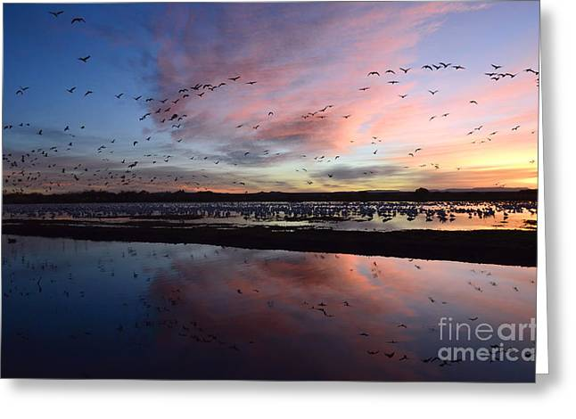 Snow Geese In Flight Greeting Cards - Bosque Del Apache Sunrise Greeting Card by Bob Christopher