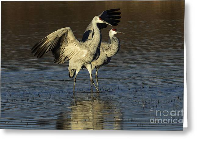 Crane Migration Greeting Cards - Bosque Del pache Sandhill Crane Pair Greeting Card by Bob Christopher