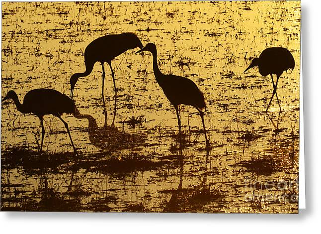 Crane Migration Greeting Cards - Bosque el Apache Golden Pond Greeting Card by Bob Christopher