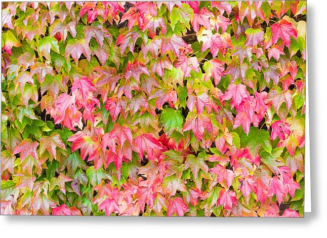 Woody Vine Greeting Cards - Boston Ivy Greeting Card by Semmick Photo