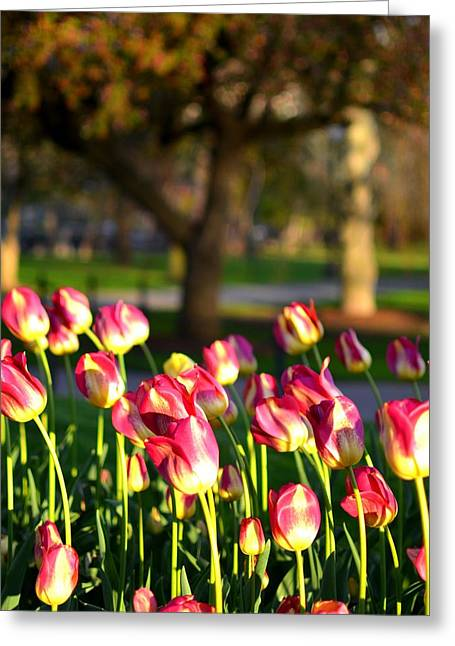 Boston Ma Greeting Cards - Boston Public Garden Tulips Greeting Card by Toby McGuire