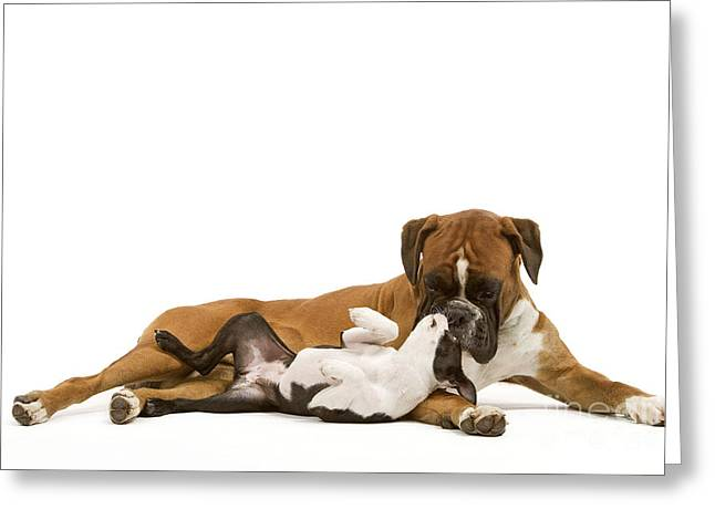 Animals Love Greeting Cards - Boston Terrier And Boxer Greeting Card by Jean-Michel Labat
