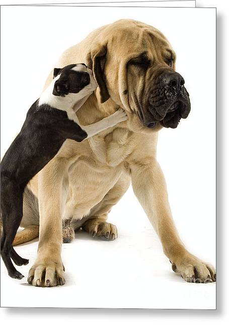 Best Friend Greeting Cards - Boston Terrier And Mastiff Greeting Card by Jean-Michel Labat
