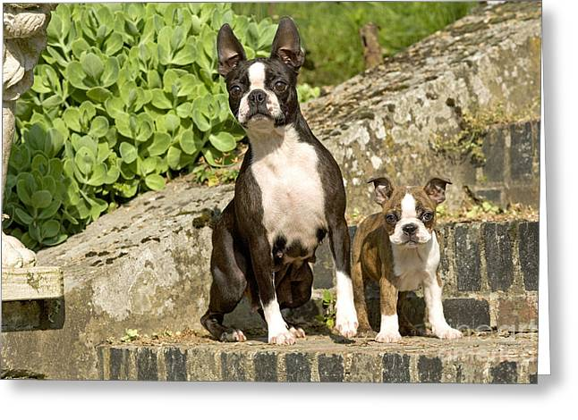 Dog On Front Steps. Greeting Cards - Boston Terrier And Puppy Greeting Card by Jean-Michel Labat