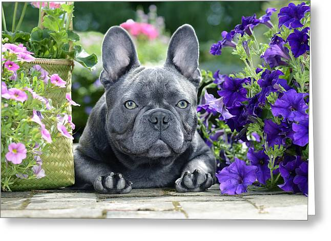 Dog Photographs Greeting Cards - Boston Terrier And Purple Flowers Greeting Card by Greg Cuddiford