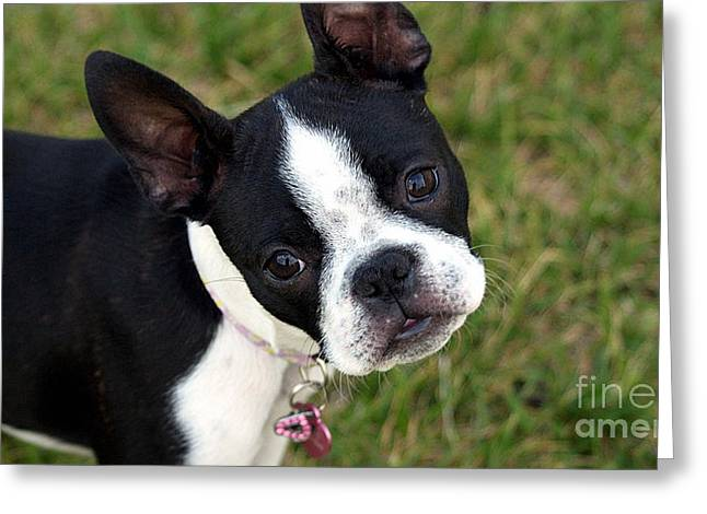 Full Length Mixed Media Greeting Cards - Boston Terrier Puppy Greeting Card by Marvin Blaine