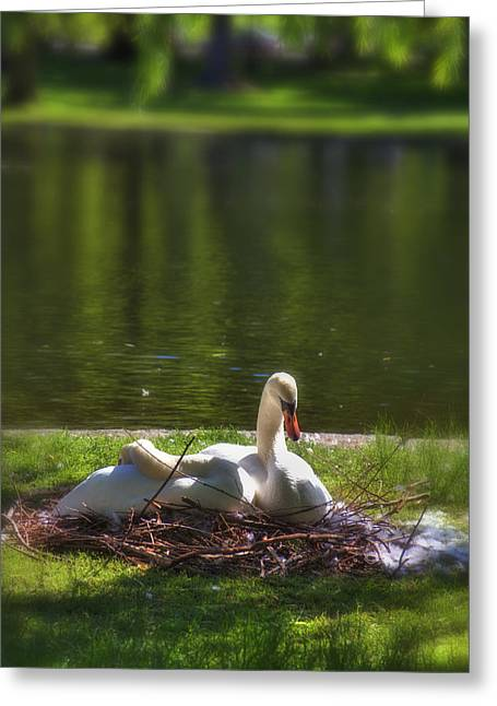 Boston's Romeo And Juliet Swans Greeting Card by Joann Vitali