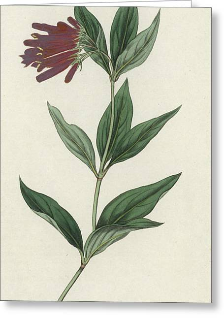 Wildlife Prints Drawings Greeting Cards - Botanical Engraving Greeting Card by English School