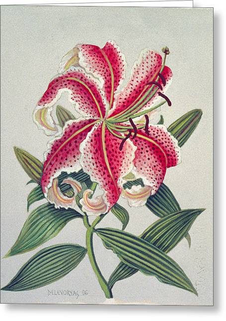 Stamen Greeting Cards - Botanical Lily, 1996 Wc On Paper Greeting Card by Lillian Delevoryas