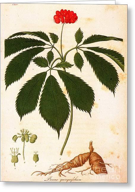 Botany: Ginseng Greeting Card by Granger