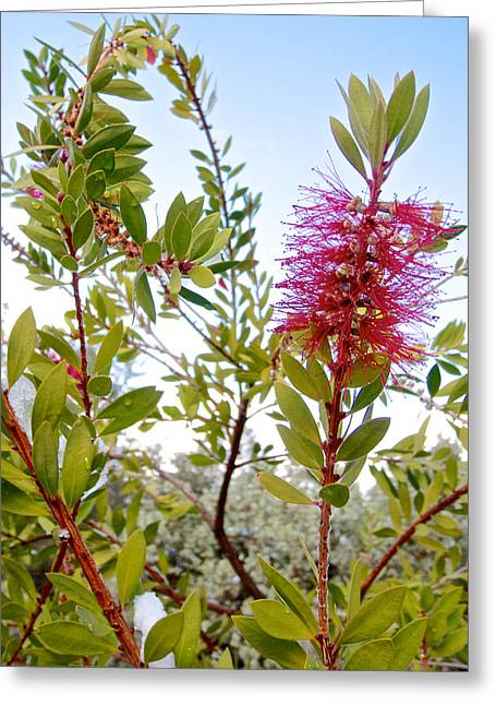 Snowy Day Digital Greeting Cards - Bottlebrush on a Snowy Day in Park Sierra-CA  Greeting Card by Ruth Hager