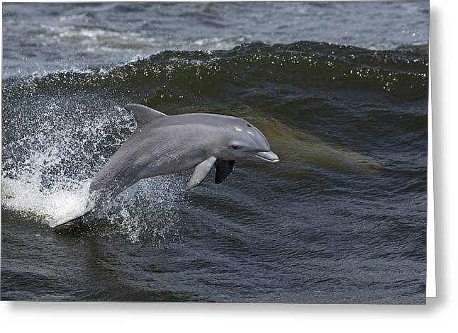 Surfing And Dolphins Greeting Cards - Bottlenose Dolphin 3 Greeting Card by Gerald Marella