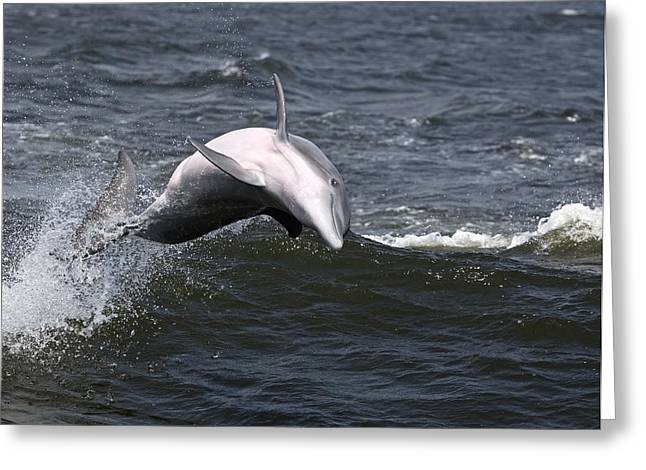 Surfing And Dolphins Greeting Cards - Bottlenose Dolphin 4 Greeting Card by Gerald Marella