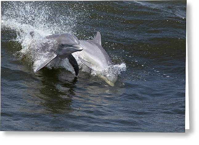 Surfing And Dolphins Greeting Cards - Bottlenose Dolphin 7 Greeting Card by Gerald Marella