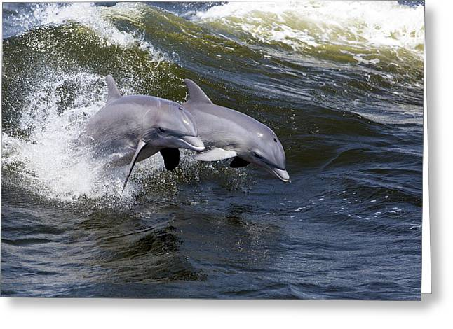 Surfing And Dolphins Greeting Cards - Bottlenose Dolphin 8 Greeting Card by Gerald Marella