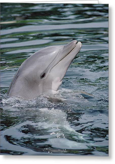 Tursiops Truncatus Greeting Cards - Bottlenose Dolphin Portrait Greeting Card by Flip Nicklin