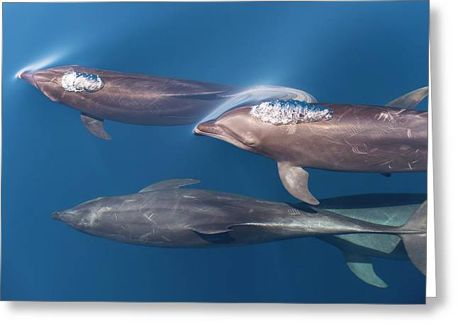 Bottlenose Dolphins Greeting Card by Christopher Swann
