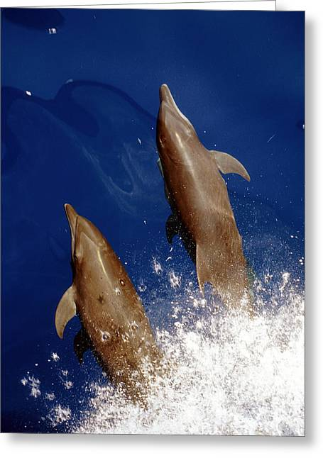 Dolphin Greeting Cards - Bottlenose Dolphins Tursiops Truncatus Greeting Card by Anonymous