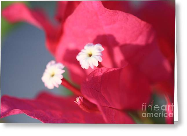 Nicaragua Greeting Cards - Bougainvillea 2 Greeting Card by Cheryl Young